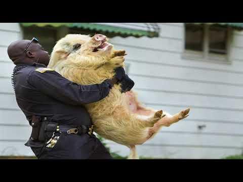 King Obstinate - Police Bring Back  Me Pig