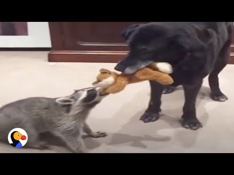Raccoon, Dog Form Bond After He Loses His Mom | The Dodo