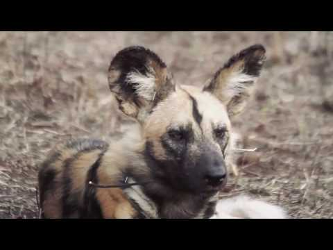 Actively volunteer with wild dogs in South Africa