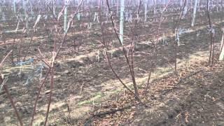 видео Бизнес по выращиванию ежевики