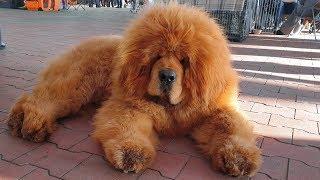 💪 Огромный тибетский мастиф. Huge Tibetan Mastiff.