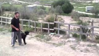 Cane Corso Alpha Dog Training