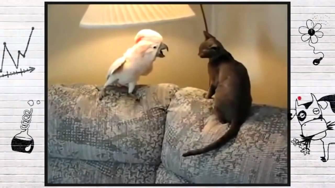 Камеди попугай и кот