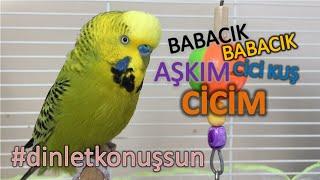 Konuşan Muhabbet Kuşu Fıstık - Cicim babacık aşkım cici kuş