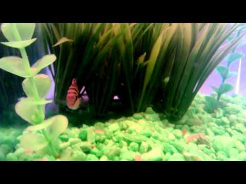 10 Gallon Fish Tank/ Aquarium with Black convict and Jewel Cichlid Pair!