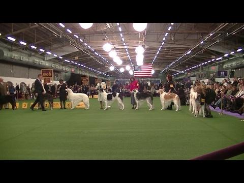 Borzoi Westminster dog show 2017 a