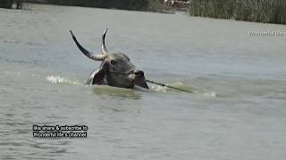 SMP Jallikattu bull swimming at bukkasagaram ! Part 1