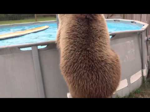 BABY BEAR SWIMMING IN POOL