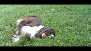 English Springer Spaniel Spencer. Tail-a-wagging Florida Luxury Style.