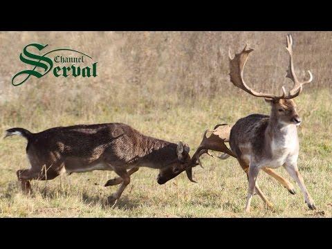 Fallow Deer - Hunting in Croatia