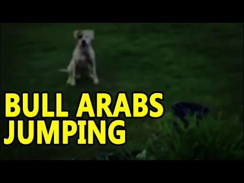 Bull Arabs Jumping dog and his sidekick LOL
