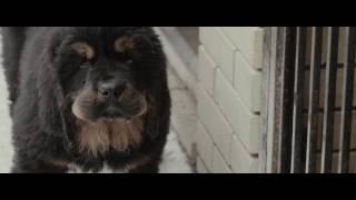 """Mastif Way (о породе """"Тибетский астиф"""")"""
