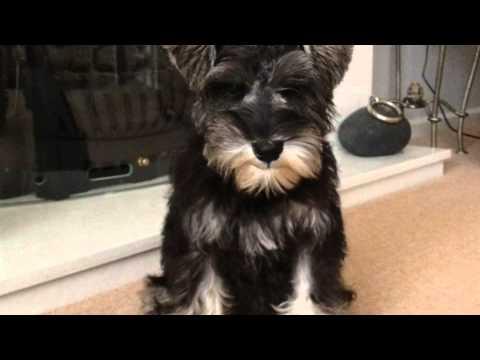 Mini Schnauzer  6 weeks to 1 year in a minute  so cute