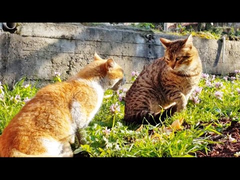 Angry cats meowing very loudly │Funny Cats