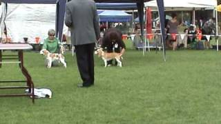 Minor Puppy In Show - The Beagle Club Of Nsw (aust) 86th Champ Show - 11 April 2009