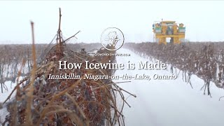 Icewine Harvest: Finding the Sweetspot