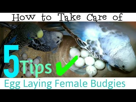 5 Tips to keep Egg Laying Budgies Healthy | How to Take Care of Female Budgies Who has Laid Eggs? |