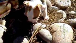New 5 week Pitty Puppy Sniffin around Thumbnail