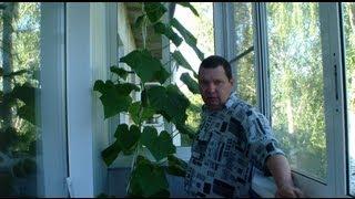 видео Выращивание огурцов на балконе