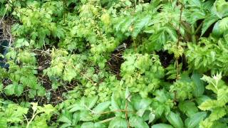 Raspberry, angelica and lemon balm forest garden patch