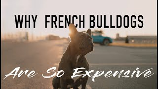 Why FRENCH BULLDOGS Are So Expensive | Breeders Cost |  Breeding Process