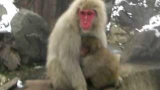 世界で唯一、野生の猿が温泉に入る、山ノ内町上林温泉の地獄谷野猿公園 ...