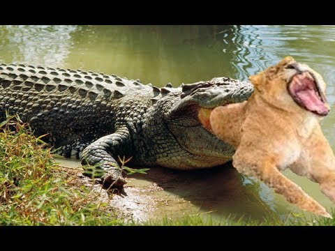 The power of Crocodile King, Crocodile destroys the Lion King in 10 second