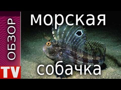 Вопрос: Чем интересна щучья морская собачка?