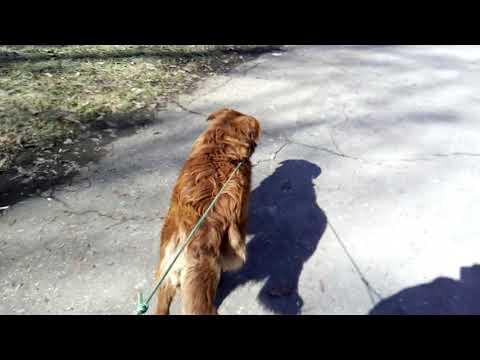 Строгий ошейник? Дрессировка собак, метис питбультерьера и алабая (САО).