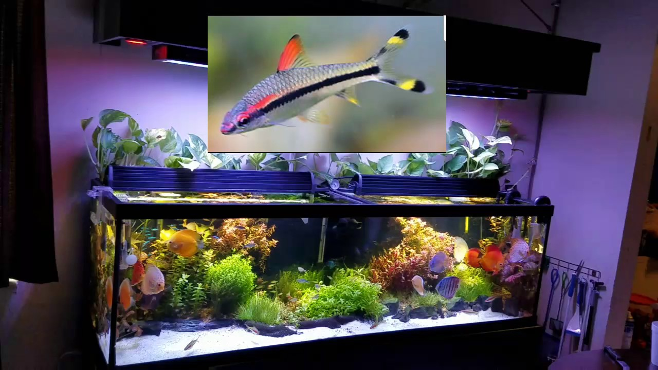 Peces compatible con peces discos en mi acuario plantado for Peces de colores para acuarios