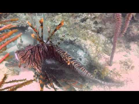 Toad Fish Eating Lion Fish