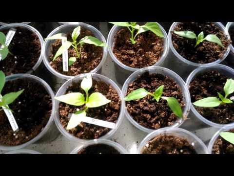 Перцы сладкие и острый,рассада. Как растет рассада из семян покупного перца.