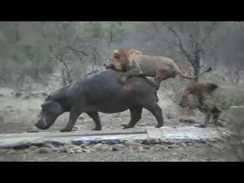 Lions Killing Hippo - 4 Diffirent Cases