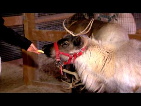 Reindeer for PNC Festival of Lights - Cincinnati Zoo