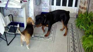 Beagle Vs Rottweiler