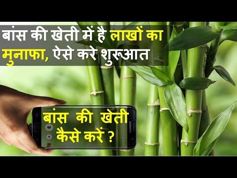बांस Bamboo की खेती कैसे करें  | Bamboo Farming | Bamboo Cultivation | In India