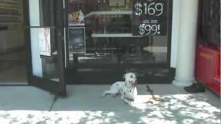 Elite Pro Dog Training - Trainer Laurent - Teaches Dalmatian Basic Sit , Stay, Social Commands