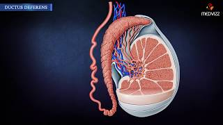 Anatomy of Ductus deferens - Embryology , Histology , Blood supply , Nerve supply & Clinical anatomy