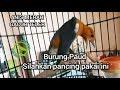 Suara Burung Anis Merah Teler Gacor Durasi Panjang Full  Tembakan(.mp3 .mp4) Mp3 - Mp4 Download