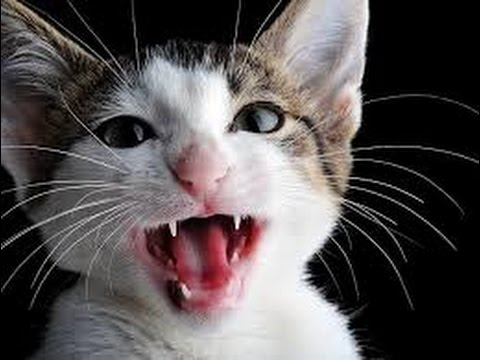 funny cat try not to laugh, funny cat talking and singing song, funny cat ultimate.