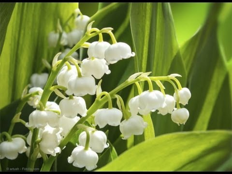 Planter Une Bordure De Muguet Youtube