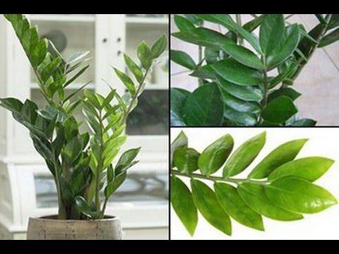 Размножение ЗАМИОКУЛЬКАСА. Способы разведения долларового дерева в домашних условиях