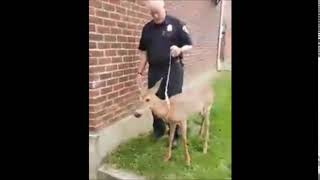 Friendliest deer in Upstate NY lets police walk him on a leash like a pet dog thumbnail