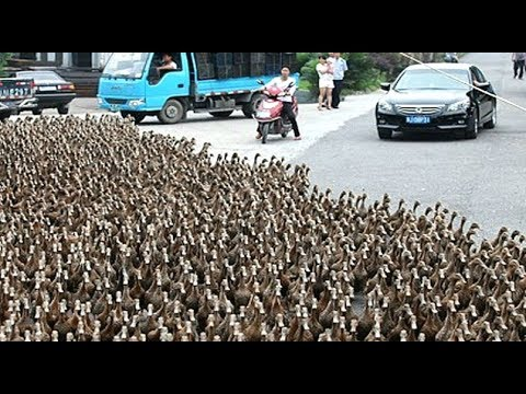 download DUCK ARMY Videos Compilation || NEW