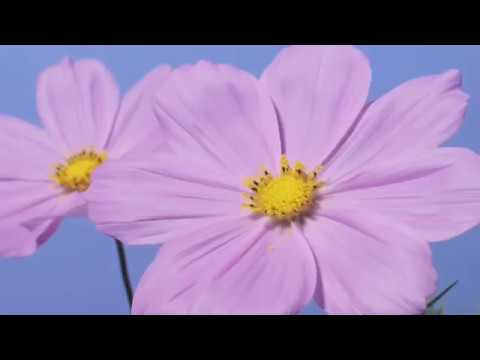 Cosmos Pink Flowers Opening Time Lapse Youtube