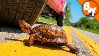 Click to Rescue this Turtle from Traffic!