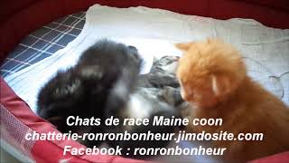 Chaton Maine coon, chatterie Ronron bonheur