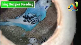 Exhibition Hagoromo TCB Budgies Breeding URDU/HINDI