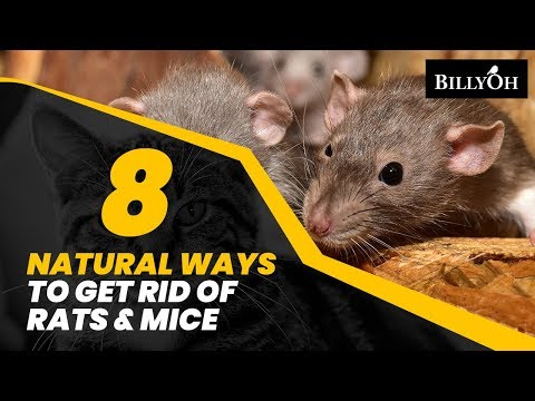 8 Natural Ways to Get Rid of Rats & Mice Without Harming Them - Humane Home Remedies For Pests