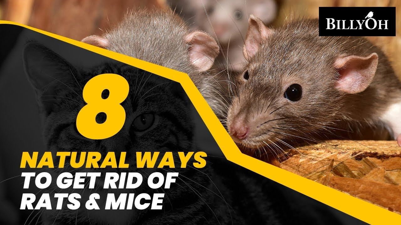 How to prevent rats in home naturally